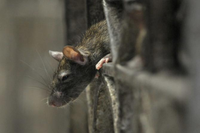 FYI: New York City Has An Uncontrollable Rat Problem